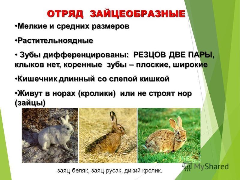 заяц-беляк, заяц-русак, дикий кролик. ОТРЯД ЗАЙЦЕОБРАЗНЫЕ Мелкие и средних размеров Мелкие и средних размеров Растительноядные Растительноядные Зубы дифференцированы: РЕЗЦОВ ДВЕ ПАРЫ, клыков нет, коренные зубы – плоские, широкие Зубы дифференцированы