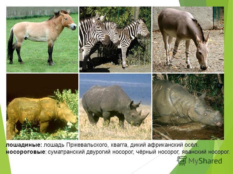 лошадиные: лошадь Пржевальского, квагга, дикий африканский осёл. носороговые: суматранский двурогий носорог, чёрный носорог, яванский носорог.