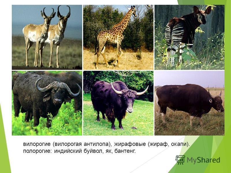 вилорогие (вилорогая антилопа), жирафовые (жираф, окапи). полорогие: индийский буйвол, як, бантенг.