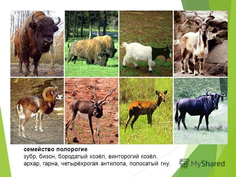 семейство полорогие зубр, бизон, бородатый козёл, винторогий козёл. архар, гарна, четырёхрогая антилопа, полосатый гну.