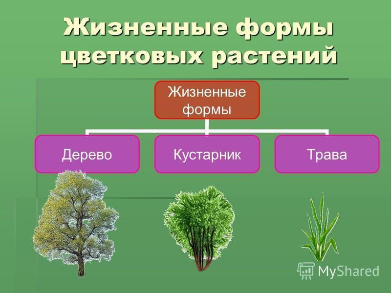 Жизненные формы цветковых растений Жизненные формы Дерево КустарникТрава