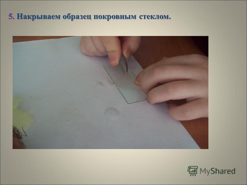 4.Кладём кусочек кожицы на предметное стекло и расправляем, окрашиваем его каплей йода.
