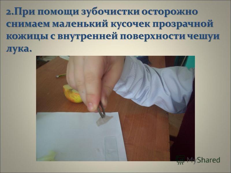 «Изготовление препарата кожицы лука» 1. Подготавливаем предметное стекло, тщательно промыв его водой.