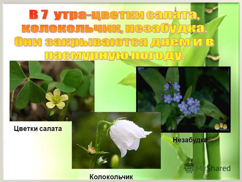 Цветки салата Колокольчик Незабудка