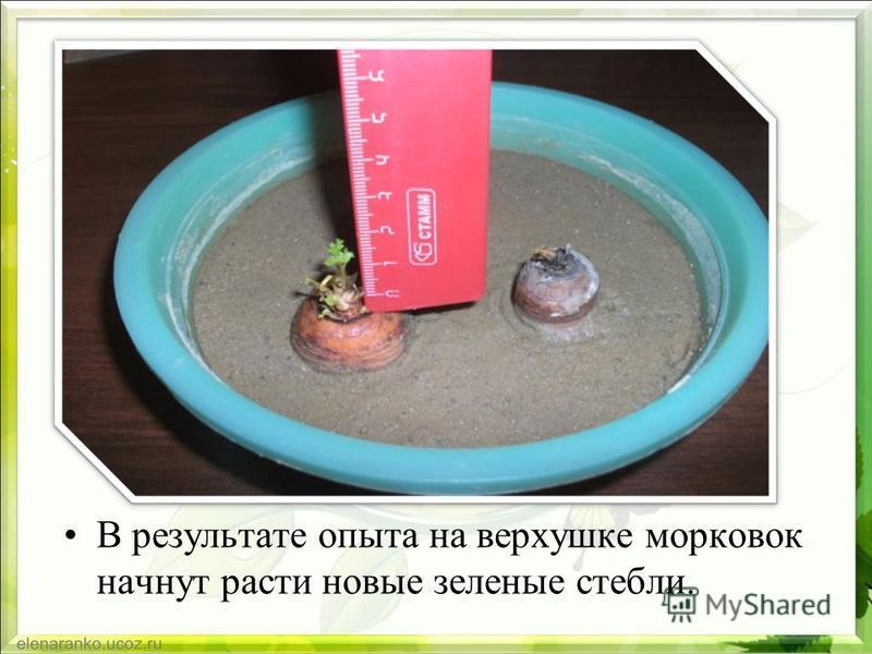 В результате опыта на верхушке морковок начнут расти новые зеленые стебли.