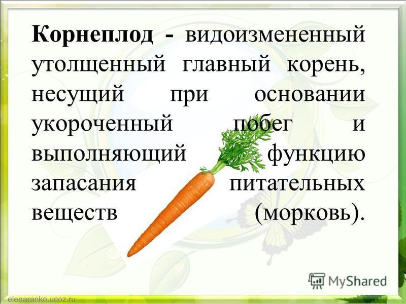 Корнеплод - видоизмененный утолщенный главный корень, несущий при основании укороченный побег и выполняющий функцию запасания питательных веществ (морковь).