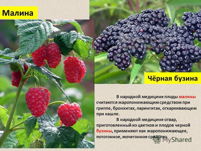 Чёрная бузина Малина В народной медицине плоды малины считаются жаропонижающим средством при гриппе, бронхитах, ларингитах, отхаркивающем при кашле. В народной медицине отвар, приготовленный из цветков и плодов черной бузины, применяют как жаропонижа