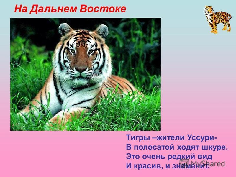 На Дальнем Востоке Тигры –жители Уссури- В полосатой ходят шкуре. Это очень редкий вид И красив, и знаменит.