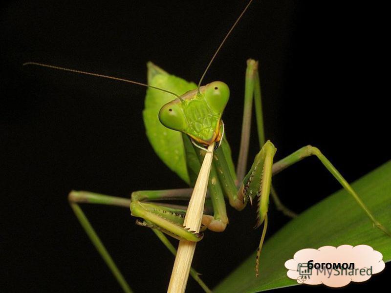 Хотя насекомые очень разные, у них одни и те же части тела, и у всех насекомых шесть ног. Значит, чтобы узнать, какое животное насекомое, а какое нет, надо посчитать его ножки. Значит богомол – насекомое!