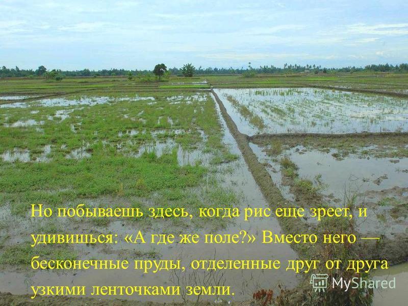 Но побываешь здесь, когда рис еще зреет, и удивишься: «А где же поле?» Вместо него бесконечные пруды, отделенные друг от друга узкими ленточками земли.