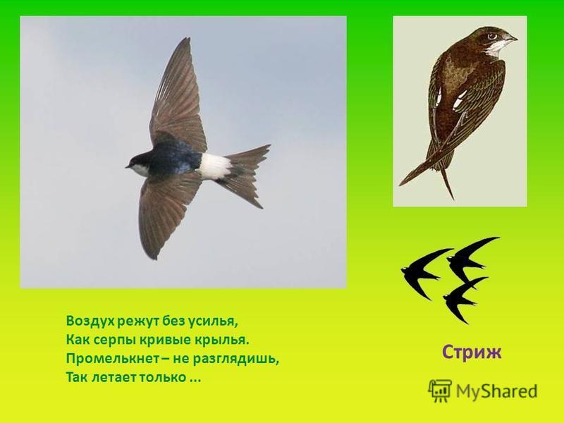 . Воздух режут без усилья, Как серпы кривые крылья. Промелькнет – не разглядишь, Так летает только... Стриж