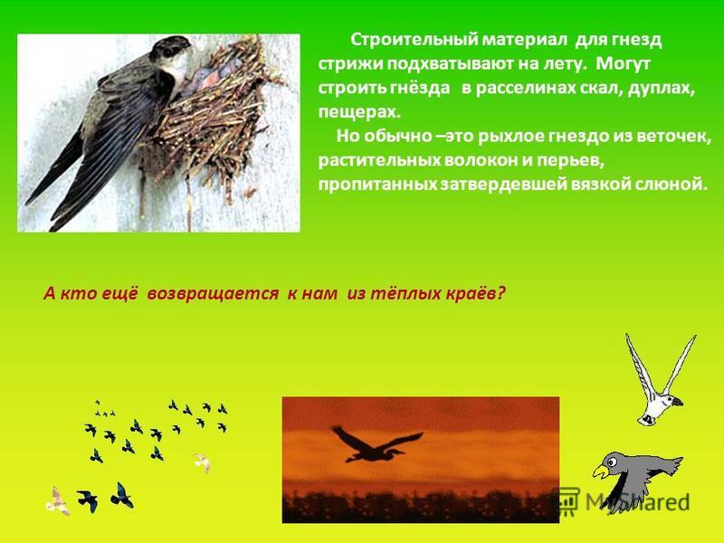 Строительный материал для гнезд стрижи подхватывают на лету. Могут строить гнёзда в расселинах скал, дуплах, пещерах. Но обычно –это рыхлое гнездо из веточек, растительных волокон и перьев, пропитанных затвердевшей вязкой слюной. А кто ещё возвращает