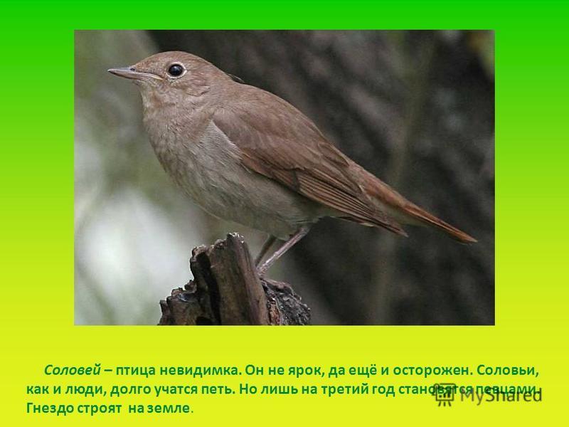 Соловей – птица невидимка. Он не ярок, да ещё и осторожен. Соловьи, как и люди, долго учатся петь. Но лишь на третий год становятся певцами. Гнездо строят на земле.