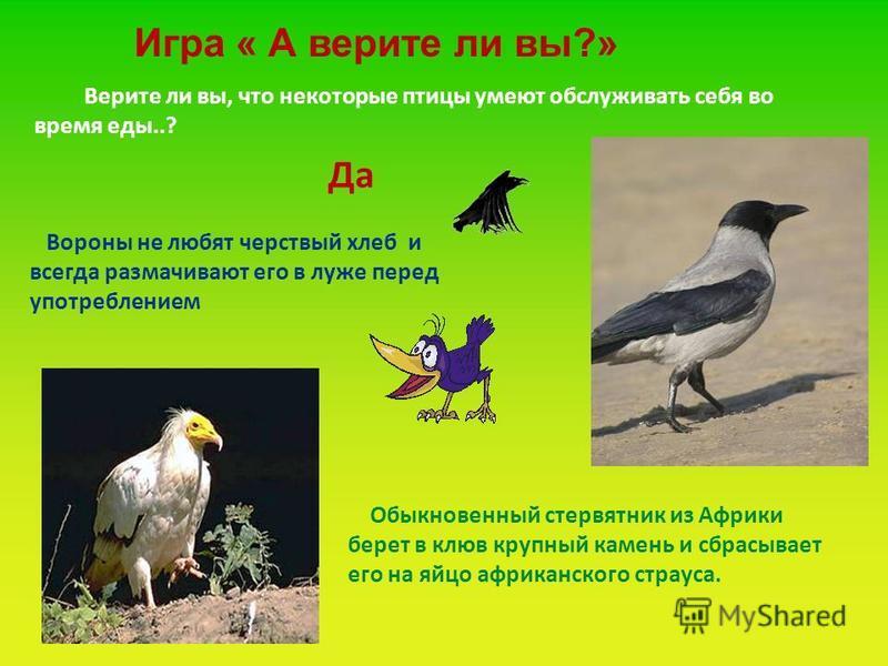 Верите ли вы, что некоторые птицы умеют обслуживать себя во время еды..? Вороны не любят черствый хлеб и всегда размачивают его в луже перед употреблением Обыкновенный стервятник из Африки берет в клюв крупный камень и сбрасывает его на яйцо африканс