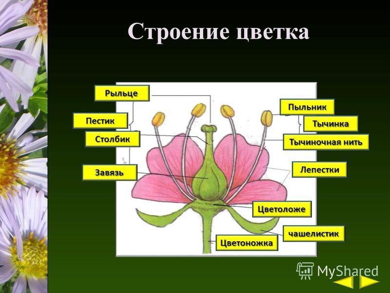 Строение цветка 1 Пыльник 2 Тычиночная нить 3 Тычинка 4 Лепестки 5 Рыльце 6 Столбик 8 Пестик 7 Завязь 9 Цветоложе 10 чашелистик 11 Цветоножка