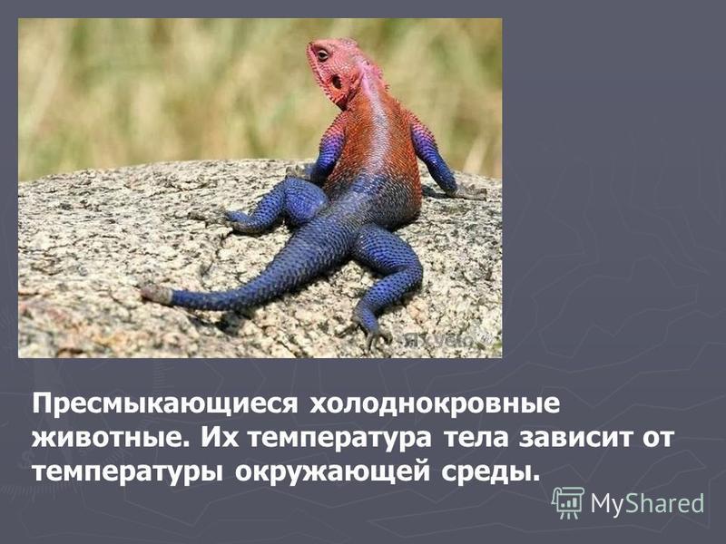 Пресмыкающиеся холоднокровные животные. Их температура тела зависит от температуры окружающей среды.