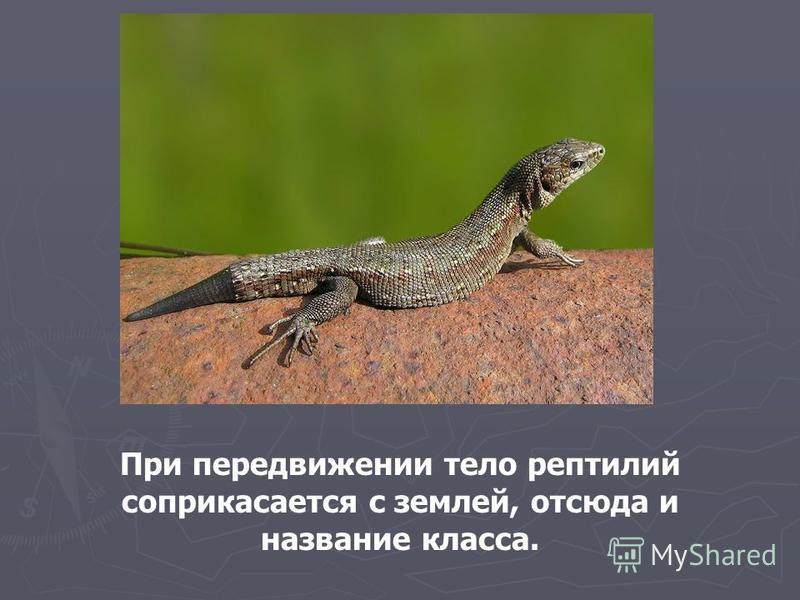 При передвижении тело рептилий соприкасается с землей, отсюда и название класса.