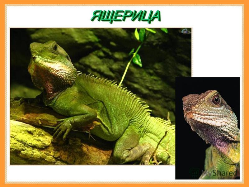 Рептилия Рептилия – любой член класса хладнокровных животных, у которого среди других общих характерных черт – кожа, состоящая из чешуи или твердых пластин.