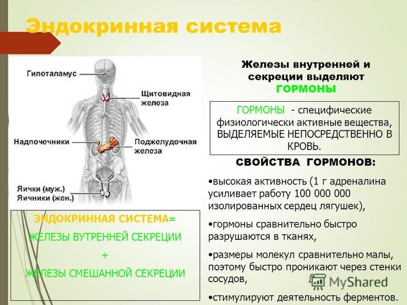 Эндокринная система Железы внутренней и секреции выделяют ГОРМОНЫ ГОРМОНЫ - специфические физиологически активные вещества, ВЫДЕЛЯЕМЫЕ НЕПОСРЕДСТВЕННО В КРОВЬ. СВОЙСТВА ГОРМОНОВ: высокая активность (1 г адреналина усиливает работу 100 000 000 изолиро