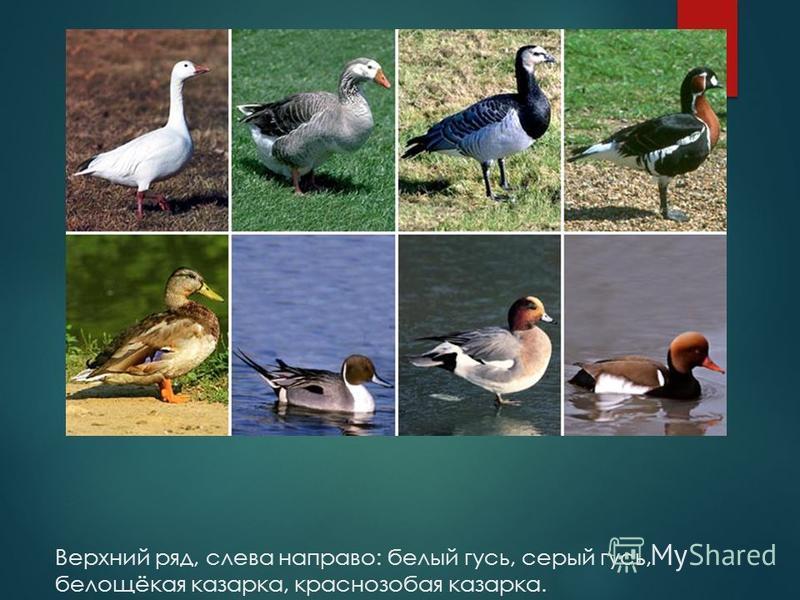 Верхний ряд, слева направо: белый гусь, серый гусь, белощёкая казарка, краснозобая казарка. Нижний ряд, слева направо: кряква, шилохвость, свиязь, красноносый нырок.