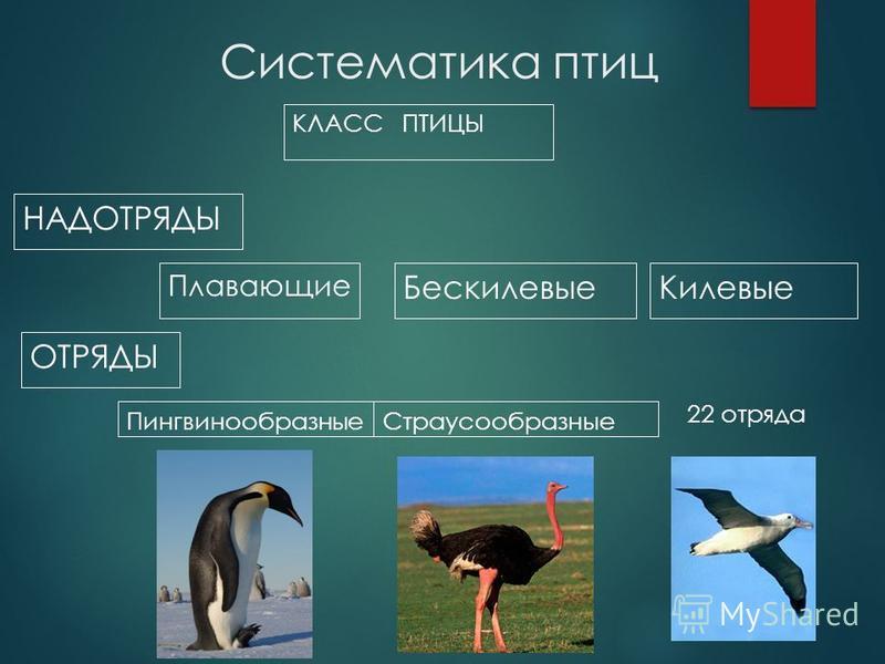 Систематика птиц КЛАСС ПТИЦЫ НАДОТРЯДЫ Бескилевые Плавающие Килевые ОТРЯДЫ Пингвинообразные Страусообразные 22 отряда