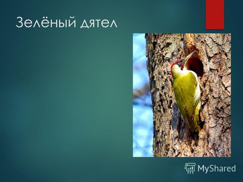 Зелёный дятел