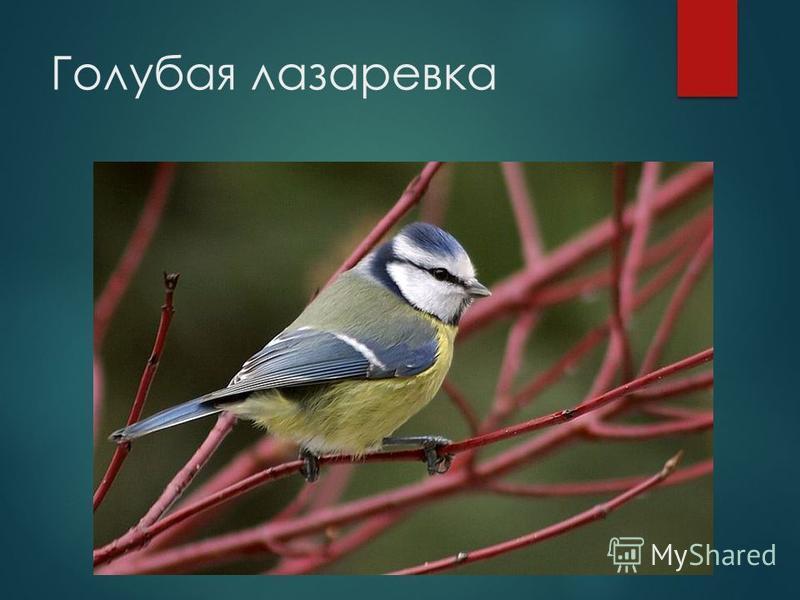 Голубая лазоревка