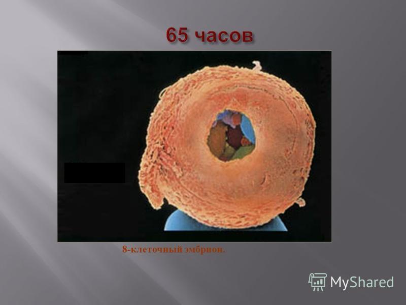 8- клеточный эмбрион.