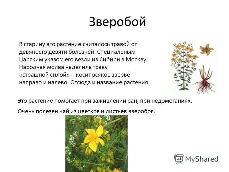 Зверобой В старину это растение считалось травой от девяносто девяти болезней. Специальным Царским указом его везли из Сибири в Москву. Народная молва наделила траву «страшной силой» - косит всякое зверьё направо и налево. Отсюда и название растения.