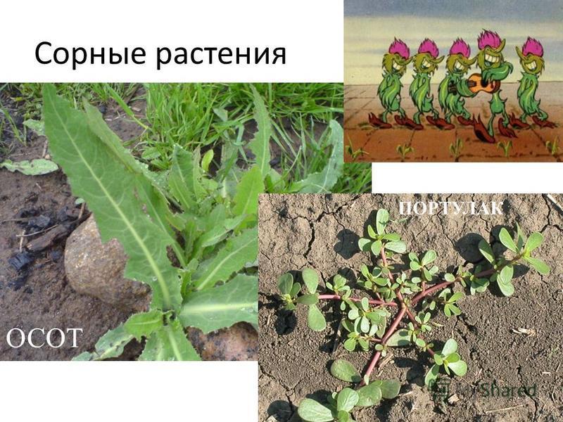 Сорные растения ОСОТ ПОРТУЛАК