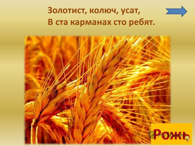 Часто мы едим: пшеничный хлеб, манную кашу, пшеничную кашу.