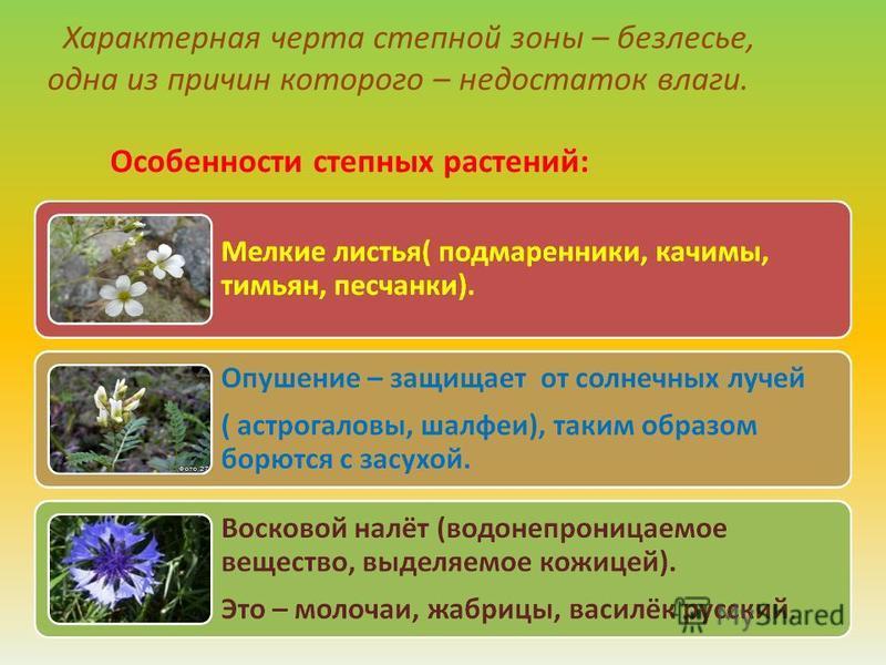 Характерная черта степной зоны – безлесье, одна из причин которого – недостаток влаги. Особенности степных растений: