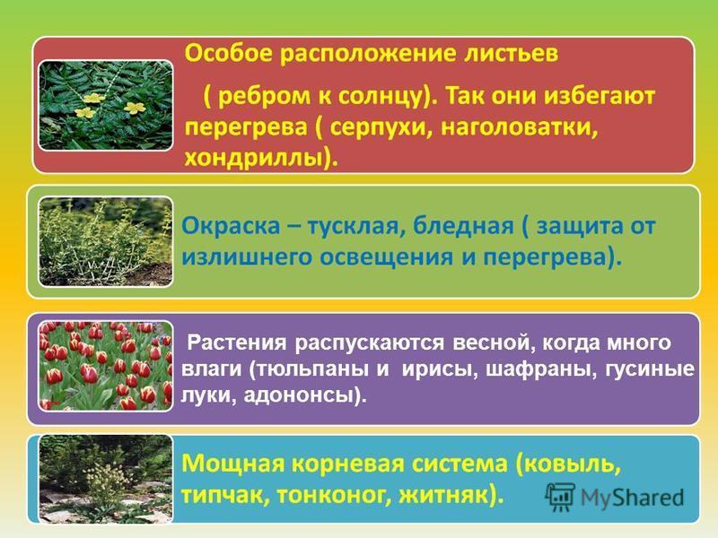 Растения распускаются весной, когда много влаги (тюльпаны и ирисы, шафраны, гусиные луки, адононсы).