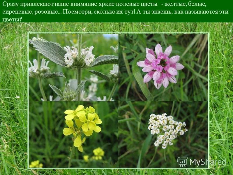 Давай мы с тобой нагнемся пониже и внимательно рассмотрим этот зеленый ковер – какие же травы и цветы растут у нас под ногами.