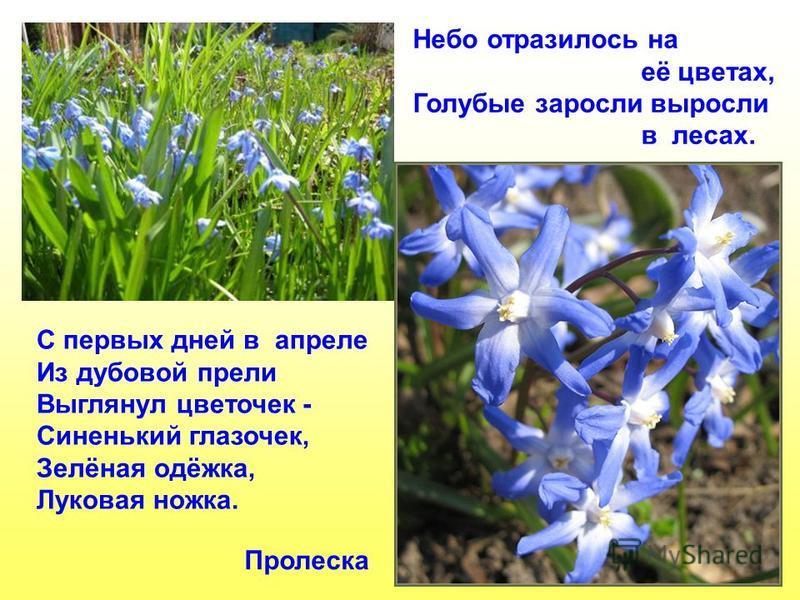 Пролеска Небо отразилось на её цветах, Голубые заросли выросли в лесах. С первых дней в апреле Из дубовой прели Выглянул цветочек - Синенький глазочек, Зелёная одёжка, Луковая ножка.