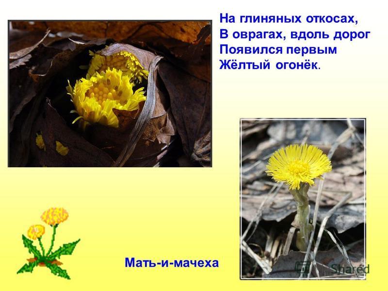 Мать-и-мачеха На глиняных откосах, В оврагах, вдоль дорог Появился первым Жёлтый огонёк.