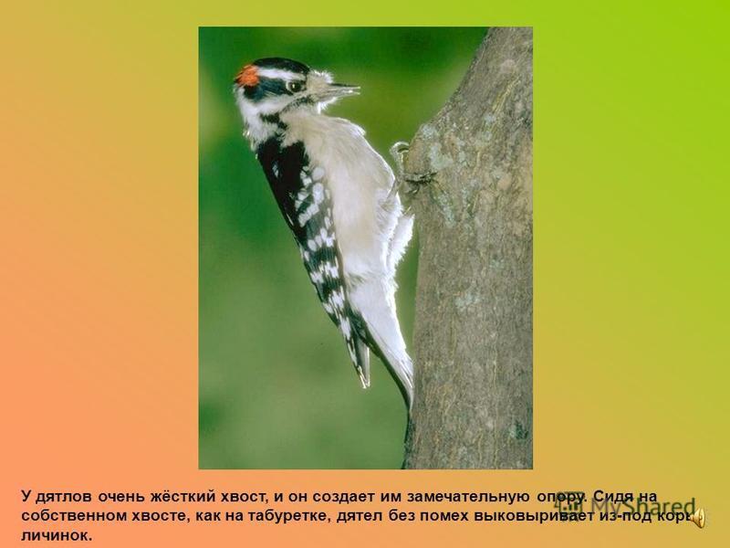 Полосатые бурундуки и белки иногда используют свой хвост в качестве парашюта. Они расправляют лапки и хвост и бросаются вниз с самой верхушки высокой ели. Это очень помогает им спасаться от хищников.