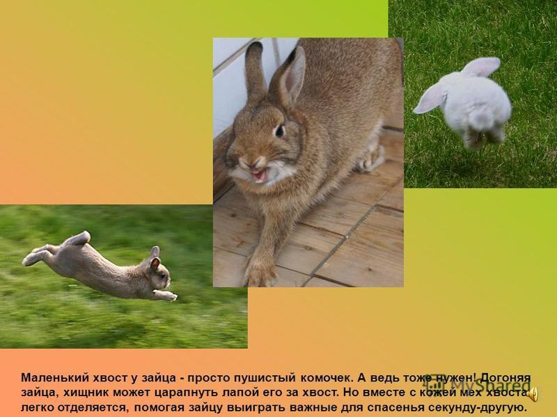 У кенгуру хвост подобен третьей ноге. Она умеет переносит всю тяжесть тела на хвост, и тогда обе задние ноги, освободившись, одним движением наносят сильные удары противнику.