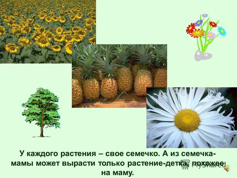 Растения – живые. Для того, что бы жить и расти им нужна вода и питательные вещества, которые есть в земле, и солнечный свет.