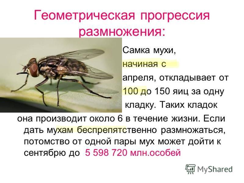 Геометрическая прогрессия размножения: Самка мухи, начиная с апреля, откладывает от 100 до 150 яиц за одну кладку. Таких кладок она производит около 6 в течение жизни. Если дать мухам беспрепятственно размножаться, потомство от одной пары мух может д