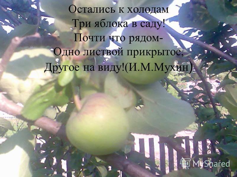 Остались к холодам Три яблока в саду! Почти что рядом- Одно листвой прикрытое, Другое на виду!(И.М.Мухин )