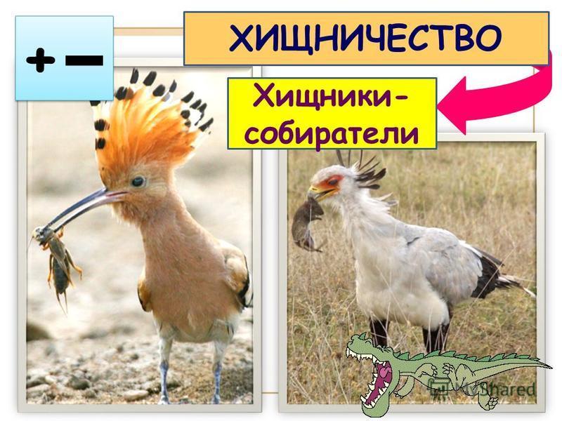 + + ХИЩНИЧЕСТВО Хищники- собиратели