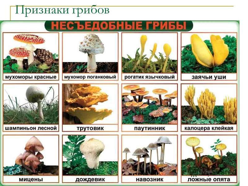 Признаки грибов