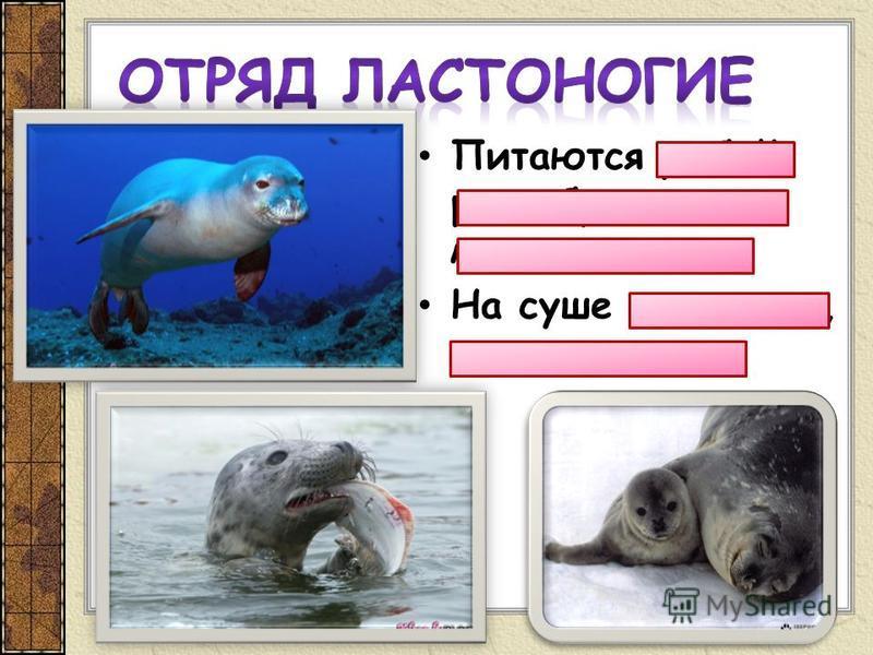 Питаются рыбой, ракообразными, моллюсками На суше отдыхают, размножаются