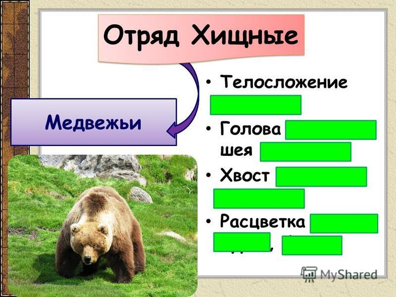Телосложение мощное Голова широкая, шея короткая Хвост не заметен Расцветка серая, бурая, белая Медвежьи Отряд Хищные
