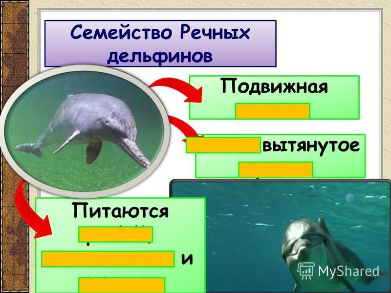Семейство Речных дельфинов Подвижная голова Узкое вытянутое рыло Питаются рыбой, моллюсками и червями