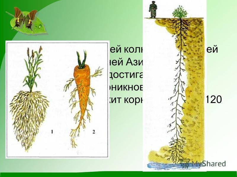 корень верблюжьей колючки, растущей в пустынях Средней Азии, уходит на глубину до 15 м, достигая грунтовых вод. А рекорд проникновения в глубь земли принадлежит корням инжира (120 м) и вяза (110 м).