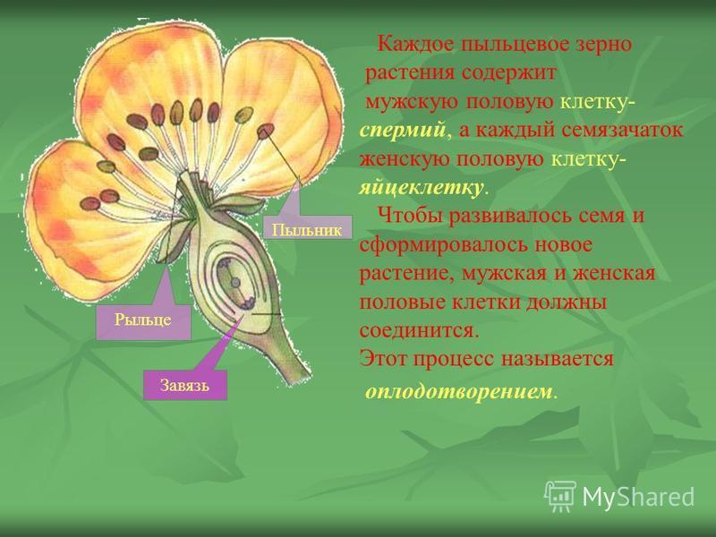 Каждое пыльцевое зерно растенийя содержит мужскую половую клетку- спермий, а каждый семязачаток женскую половую клетку- яйцеклетку. Чтобы развивалось семя и сформировалось новое растенийе, мужская и женская половые клетки должны соединится. Этот проц