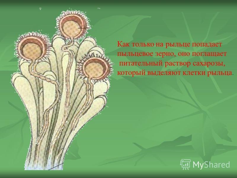Как только на рыльце попадает пыльцевое зерно, оно поглощает питательный раствор сахарозы, который выделяют клетки рыльца.