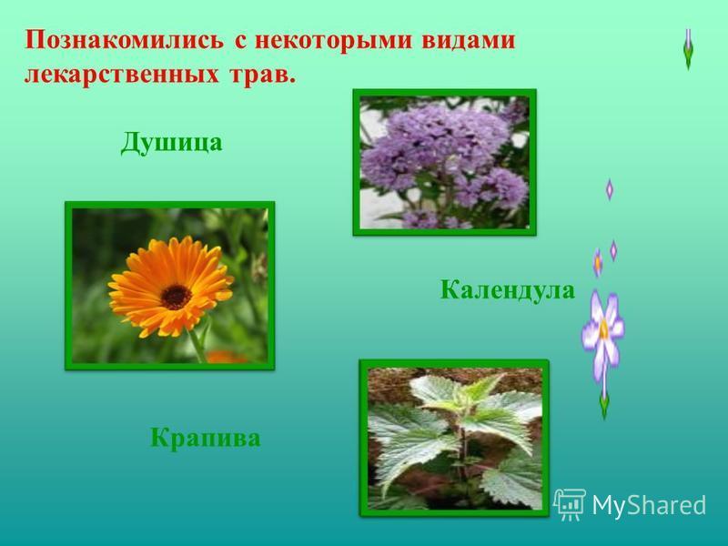Познакомились с некоторыми видами лекарственных трав. Крапива Душица Календула
